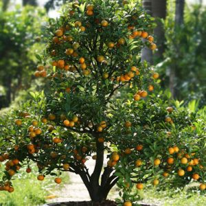 Tet – Kumquat Tree 01 (1,4m)