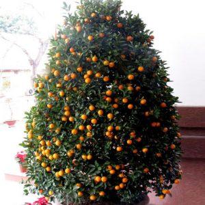 Tet – Kumquat Tree 03 (1m)