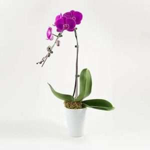 potted purple orchid 01 branch