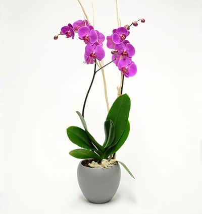 potted purple orchid 02 branches