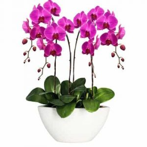 potted purple orchid 05 branches