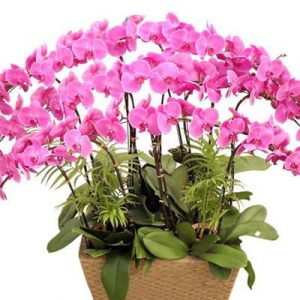 potted purple orchid 10 branches