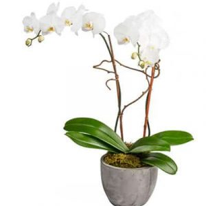 potted white orchid 02 branches