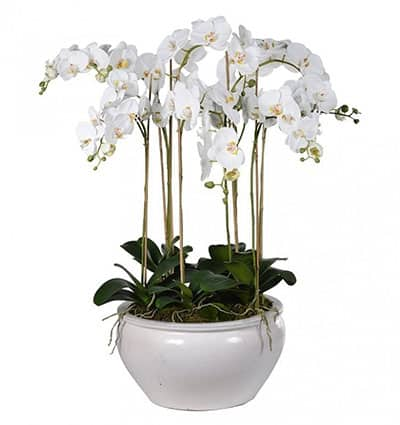 potted white orchid 07 branches