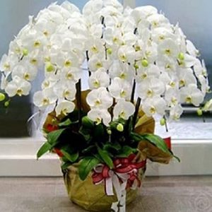 potted white orchids 10 branches