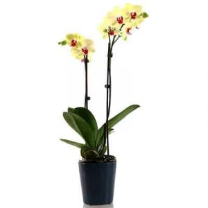 potted yellow orchid 02 branches